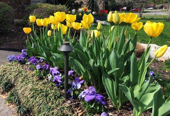 flower bed tulips 2 in tulsa ok
